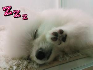ポメ 寝てる
